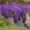 Vrtnarstvo Breskvar - Aubrieta Hybride Blaumeise
