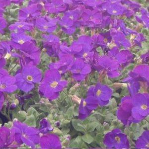 Vrtnarstvo Breskvar - Aubrieta hybrida Chianti