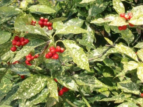 Vrtnarstvo Breskvar - Aucuba japonica Variegata