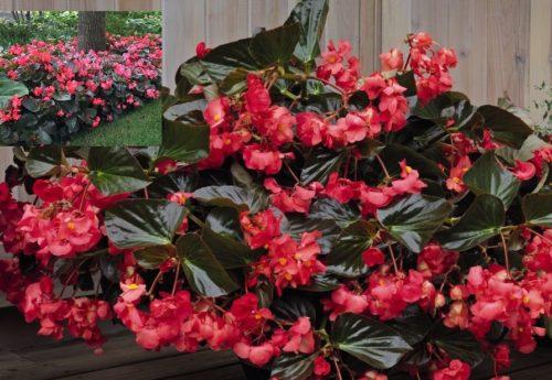 Vrtnarstvo Breskvar - Begonia benariensis Big