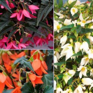 Vrtnarstvo Breskvar - Begonia boliviensis Crackling Fire