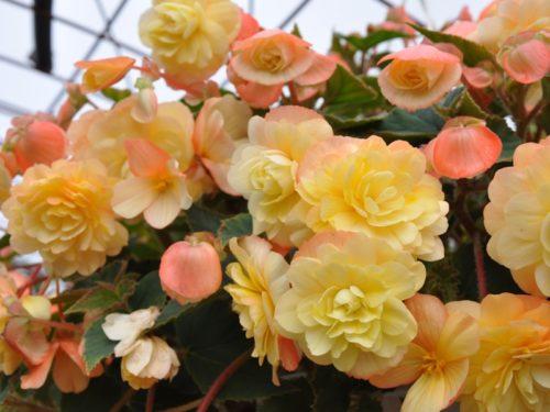 Vrtnarstvo Breskvar - Begonia Chardonnay
