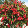 Vrtnarstvo Breskvar - Begonia Dragon Wing
