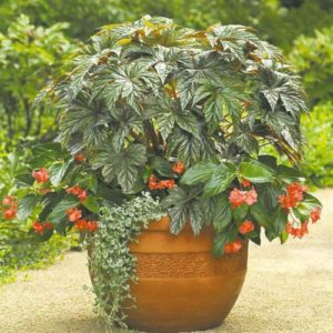 Vrtnarstvo Breskvar - Begonia Gryphoon