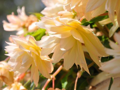 Vrtnarstvo Breskvar - Begonia hybrid Belleconia Cream