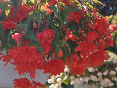 Vrtnarstvo Breskvar - Begonia hybrid Belleconia Hot Orange