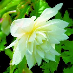 Vrtnarstvo Breskvar - Begonia hybrid Belleconia Snow