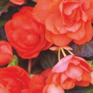 Vrtnarstvo Breskvar - Begonia hybrid Miss Malibu