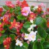 Vrtnarstvo Breskvar - Begonia semperflorens