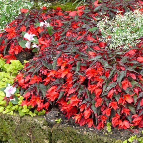 Vrtnarstvo Breskvar - Begonia Summerwings Dark Elegance