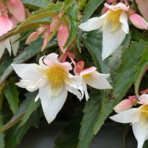 Vrtnarstvo Breskvar - Begonia Summerwings White Elegance