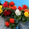 Vrtnarstvo Breskvar - Begonia tuberhybrida