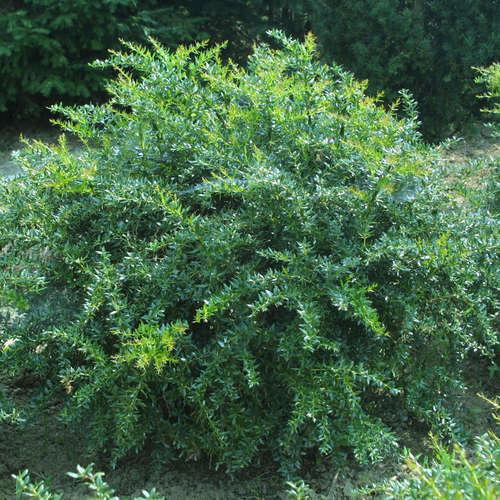 Vrtnarstvo Breskvar - Berberis frikartii Verrucandi