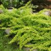 Vrtnarstvo Breskvar - Berberis thunbergii Golden Carpet