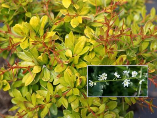 Vrtnarstvo Breskvar - Berberis thunbergii Golden Dream