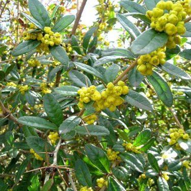 Vrtnarstvo Breskvar - Berberis julianae