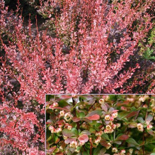 Vrtnarstvo Breskvar - Berberis Rosy Rocket