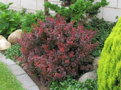 Vrtnarstvo Breskvar - Berberis thunbergii Atropurpurea Nana