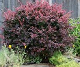 Vrtnarstvo Breskvar - Berberis thunbergii Atropurpurea