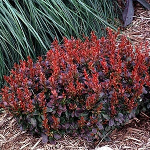 Vrtnarstvo Breskvar - Berberis thunbergii Bagatelle