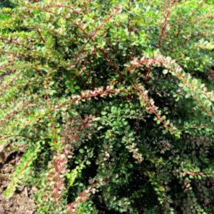 Vrtnarstvo Breskvar - Berberis thunbergii Starburst