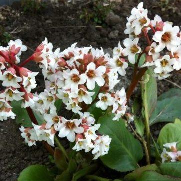 Vrtnarstvo Breskvar - Bergenia cordifolia Bressingham White