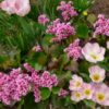 Vrtnarstvo Breskvar - Bergenia cordifolia