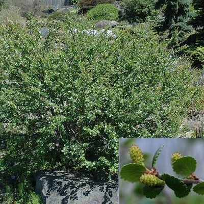 Vrtnarstvo Breskvar - Betula nana