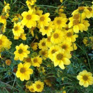 Vrtnarstvo Breskvar - Bidens ferulifolia