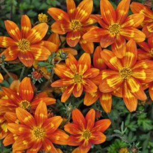 Vrtnarstvo Breskvar - Bidens Funny Honey