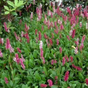 Vrtnarstvo Breskvar - Bistorta affinis