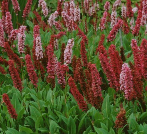 Vrtnarstvo Breskvar - Bistorta affine Darjeeling Red