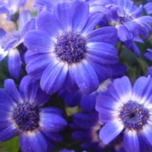 Vrtnarstvo Breskvar - Brachyscome iberidifolia