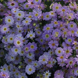 Vrtnarstvo Breskvar - Brachyscome Iberidifolia Little Missy