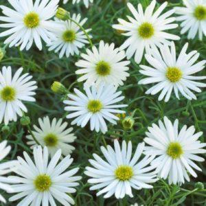 Vrtnarstvo Breskvar - Brachyscome multifida
