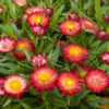 Vrtnarstvo Breskvar - Bracteantha
