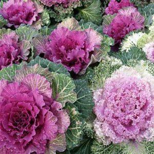 Vrtnarstvo Breskvar - Brassica Oleracea Ornamental