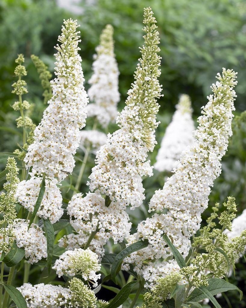 Vrtnarstvo Breskvar - Buddleja davidii White Profusion