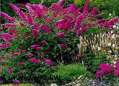 Vrtnarstvo Breskvar - Buddleja davidii Royal Red