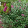 Vrtnarstvo Breskvar - Buddleja davidii Miss Ruby