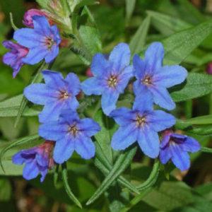 Vrtnarstvo Breskvar - Buglossoides purpurocaerulea