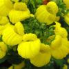 Vrtnarstvo Breskvar - Calceolaria integrifolia