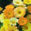 Vrtnarstvo Breskvar - Calendula officinalis Power Daisy