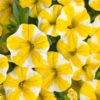Vrtnarstvo Breskvar - Calibrachoa hybrid Superbells Lemon Slice