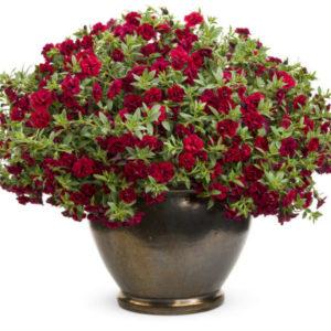 Vrtnarstvo Breskvar - Calibrachoa Superbells Double Ruby
