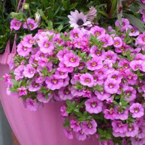 Vrtnarstvo Breskvar - Calibrachoa Superbells Hot Pink