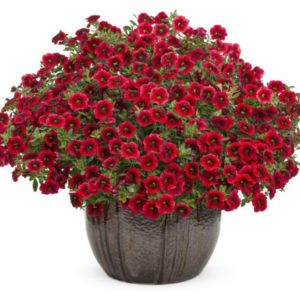 Vrtnarstvo Breskvar - Calibrachoa Superbells Pomegranate Punch