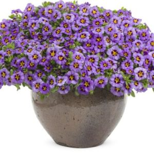 Vrtnarstvo Breskvar - Calibrachoa Superbells Royal Blue