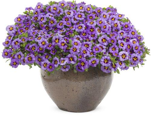 Vrtnarstvo Breskvar - Calibrachoa Superbells Royal Blue
