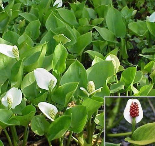 Vrtnarstvo Breskvar - Calla palustris